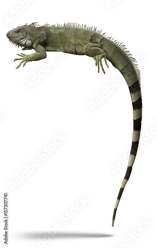 High detail Green Iguana or American Iguana lizard exotic pet animal isolated on white.
