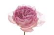 canvas print picture - Rosa Centifolia vor weißem Hintergrund