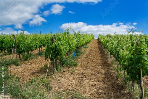 Fotografie, Obraz  vine field in Torres Vedras Portugal.