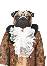 Toy Pug Dog In Butler Costume