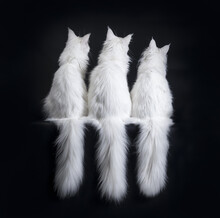 Row Of Three White Maine Coons...