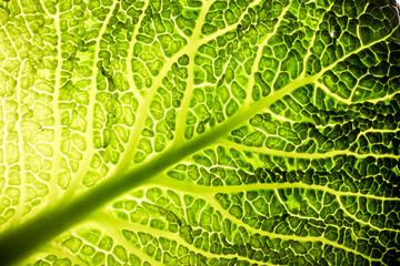 Fototapeta Do gastronomi Wirsing Gemüse Kohl grün Makro Blatt Baum Struktur gesund