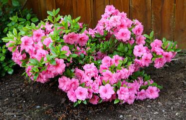 Azaleja, cvjetni grmlje pripadnik roda Rhododendron