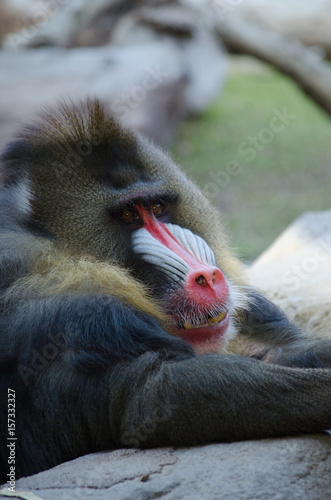 Poster Parrot baboon resting on log