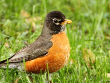 American Robbin In Grass