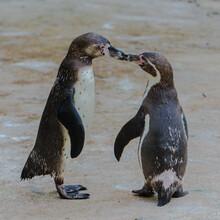 Humboldt Penguins, Kissing, Love