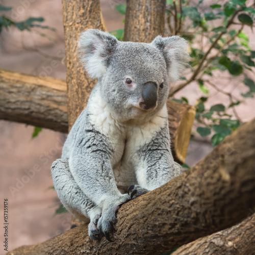 Garden Poster Koala Koala, Phascolarctos cinereus, sitting on a tree