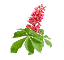 Branch Of The Red Blooming Horse-chestnuts
