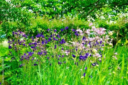 Grußkarte Sommer Im Garten Blumen Akelei Buy This Stock Photo