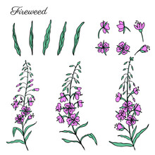 Willow Herb, Chamerion Angustifolium, Fireweed, Rosebay Hand Drawn Ink Sketch Botanical Illustration, Vector Graphic Flower Collection, Design Bouquet For Packaging Tea, Greeting Card, Medicine Plant