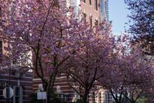 Concept Spring Cherry Trees Va...