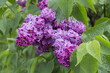 Beautiful lilac flowers after the rain