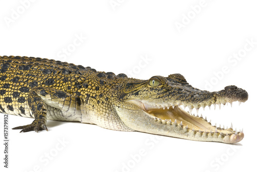 Australian saltwater crocodile, Crocodylus porosus, isolated on a white background with shadow.