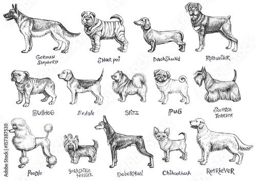 Fotografering  Dogs breeds vector set.