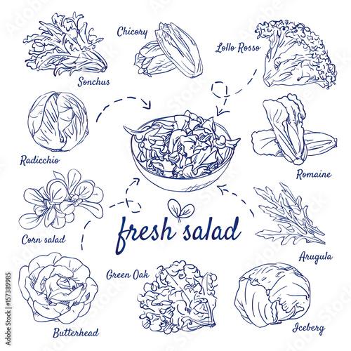 Fotografie, Obraz  Doodle set of fresh salad - Sonchus, Chicory, Lollo Rosso, Radicchio, Corn, Romaine, Arugula, Green Oak, Butterhead, Iceberg, hand-drawn