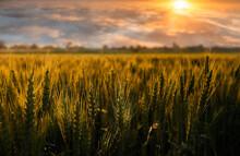 Sunset Wheat Field.