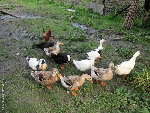 Fotografie, Obraz  Ducks