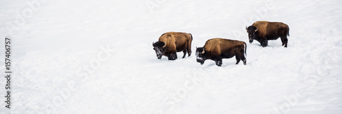 Photo Stands Bison Three Bison In Snow