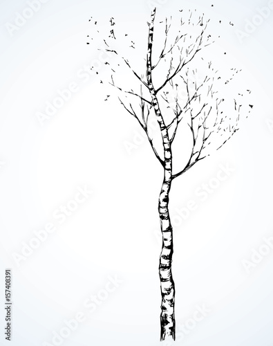 Birch. Vector drawing