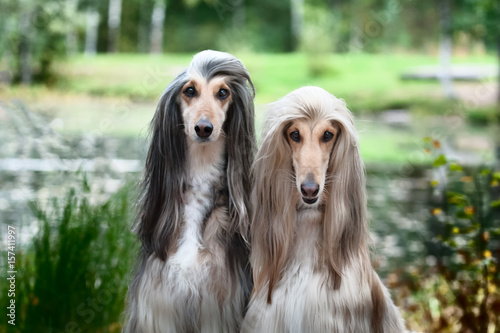 Portrait of two Afghan greyhounds, beautiful, dog show appearance Canvas Print