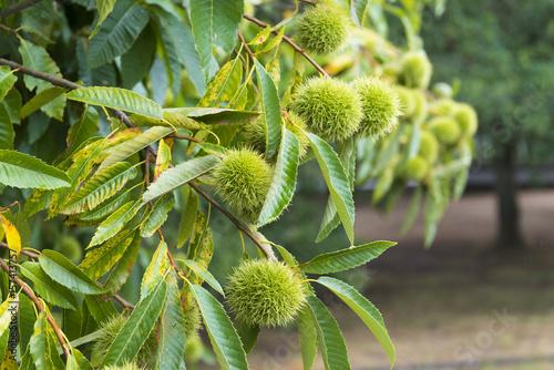 Chesnut fruit in Galicia (Spain)