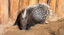 African Crested Porcupine Atta...