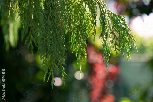 Valokuva  Cypress sullo sfondo colorato