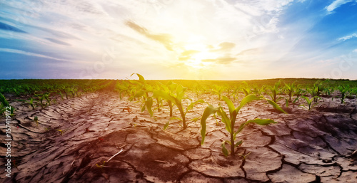 Drought in corn field
