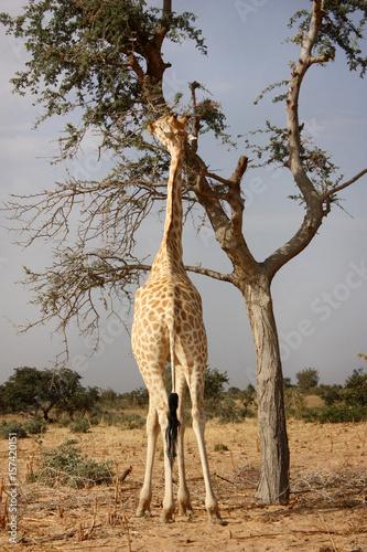 Vászonkép  giraffe