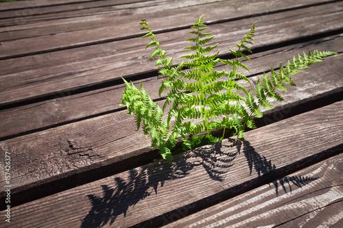 Young green fern grow through rural wooden floor Poster
