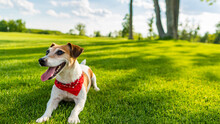 Pet Active Summer Time. Lying On Green Grass Small Dog Jack Russell Terrier.