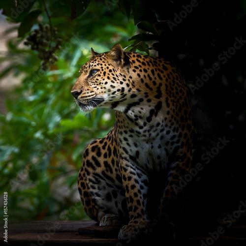 Obrazy na płótnie Canvas The nature of leopard.