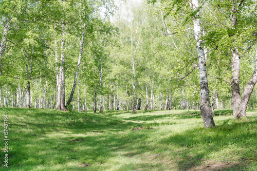 Recess Fitting Road in forest Green birches. Birch wood. Birch thicket in the summer.