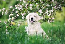 Golden Retriever Dog Posing In Blooming Tree
