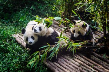 FototapetaPandas enjoying their bamboo breakfast in Chengdu Research Base, China