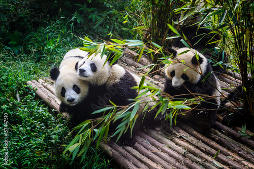 Poster Panda Pandas enjoying their bamboo breakfast in Chengdu Research Base, China