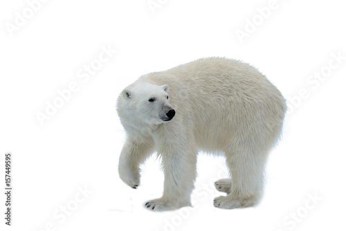 Acrylic Prints Polar bear Polar bear isolated on white