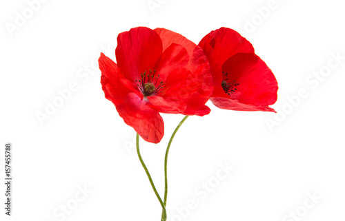 Foto op Canvas Poppy Beautiful red poppy isolated