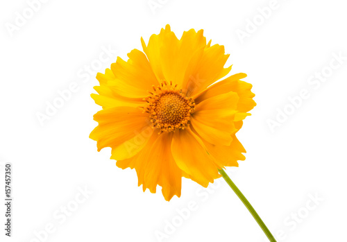 Yellow flower coreopsis isolated Canvas Print