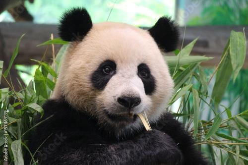 In de dag Panda a young panda in China