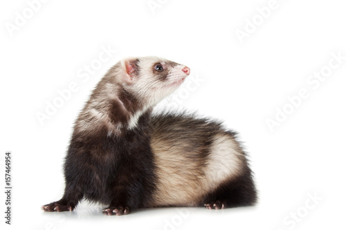 Fotografering  young ferret