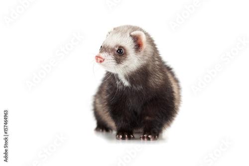 young ferret Fototapet