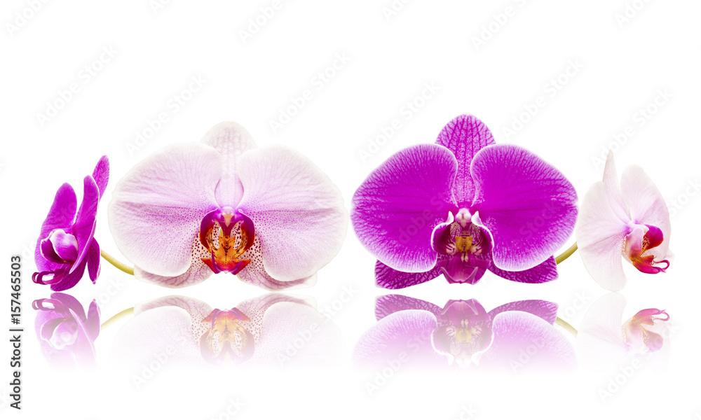 Obraz Mix storczyki orchidee białe i różowe kwiaty izolowane odbicie lustrzane fototapeta, plakat