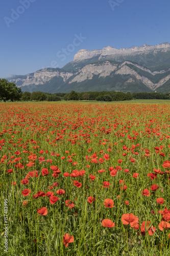 Coquelicots - Isère - Grenoble. #157483995