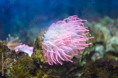 Plakat Piękna różowa denna koralowa roślina