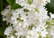 canvas print picture White flowers of lilac on nature