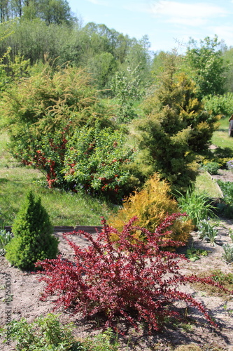 Decorative berberis thunbergii with red leaves and picea Wallpaper Mural
