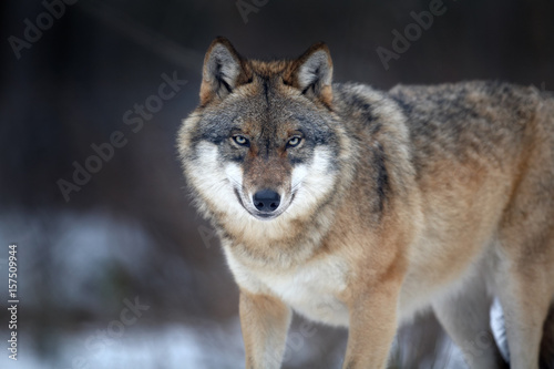 Fotobehang Wolf Close up horizontal portrait of Eurasian wolf, Canis lupus in winter, staring directly at camera against blurred forest in background. East Europe.