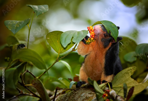 Fotografie, Obraz  Close up photo black and yellow Sri Lankan Giant Squirrel, Ratufa macroura sits on branch and feeds on leaves that holds in front paws