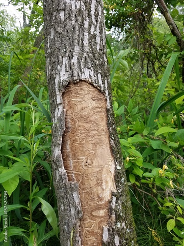 Fotografia  diseased tree with beetle tracks in the bark
